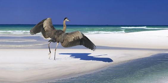 Beautiful great Blue Heron on the beach in Alabama