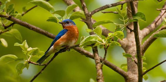Greenwich Bluebird